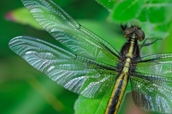 green dragonfly wing